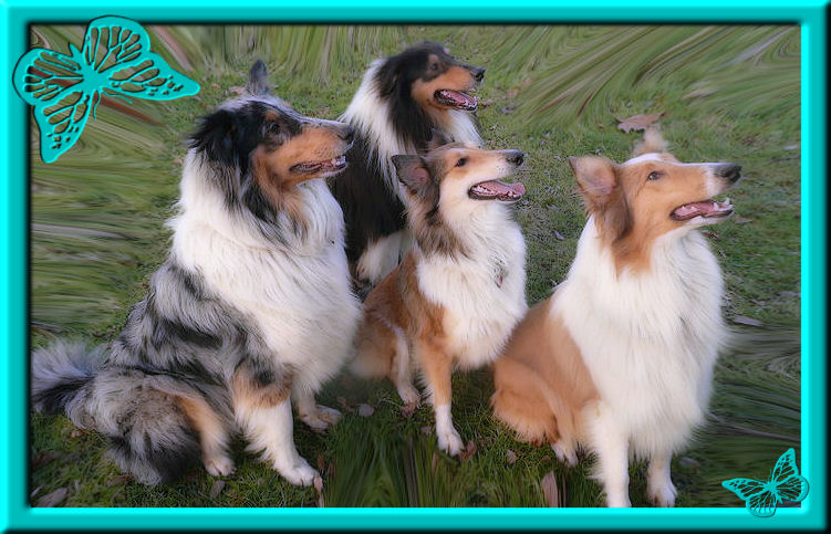 Crazy Collies from Cologne